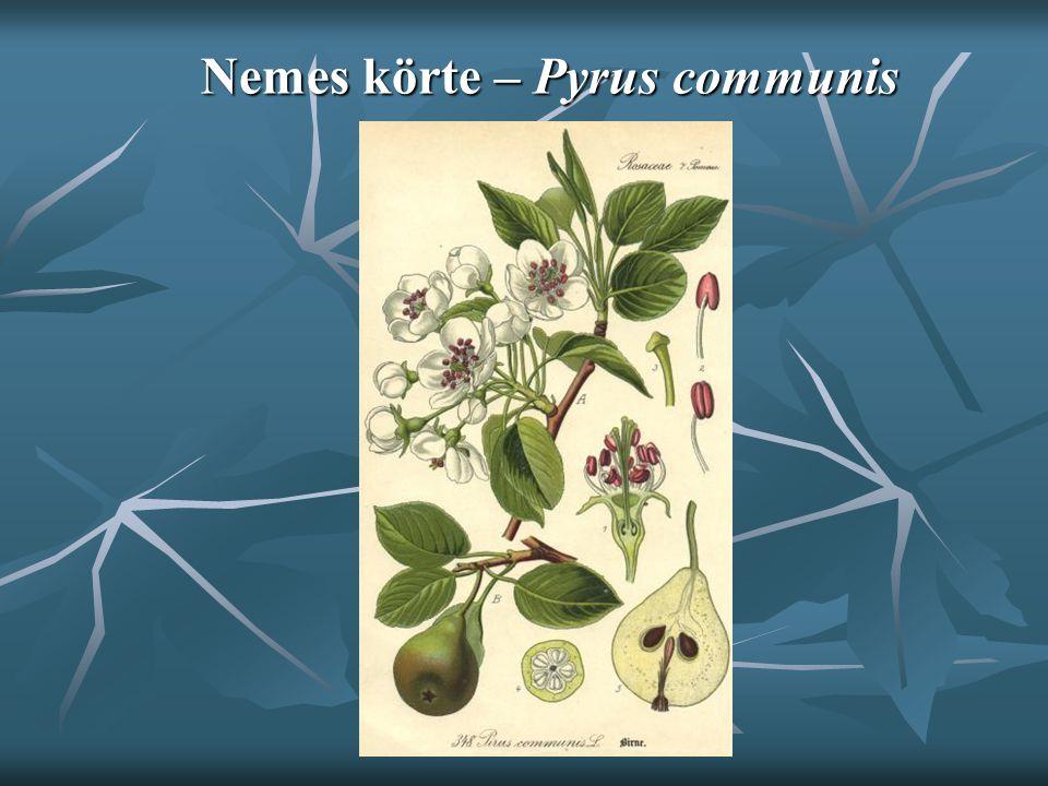 Nemes körte – Pyrus communis