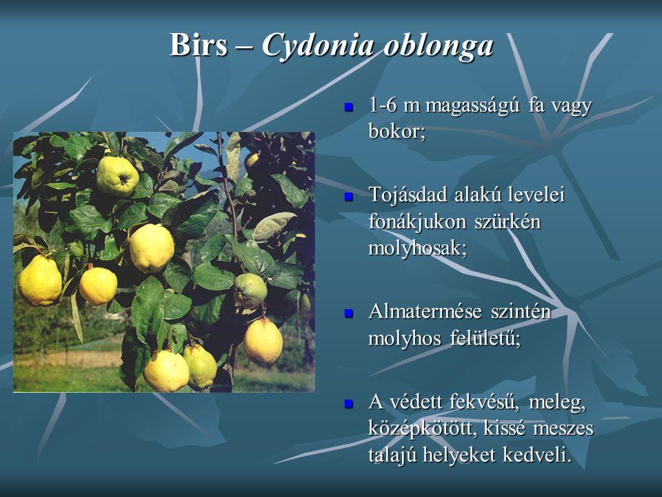 Birs – Cydonia oblonga 1-6 m magasságú fa vagy bokor; 1-6 m magasságú fa vagy bokor; Tojásdad alakú levelei fonákjukon szürkén molyhosak; Tojásdad ala