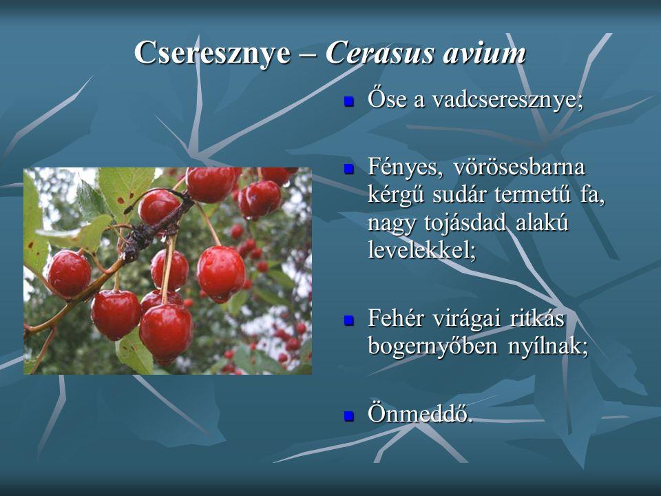 Cseresznye – Cerasus avium Őse a vadcseresznye; Őse a vadcseresznye; Fényes, vörösesbarna kérgű sudár termetű fa, nagy tojásdad alakú levelekkel; Fény