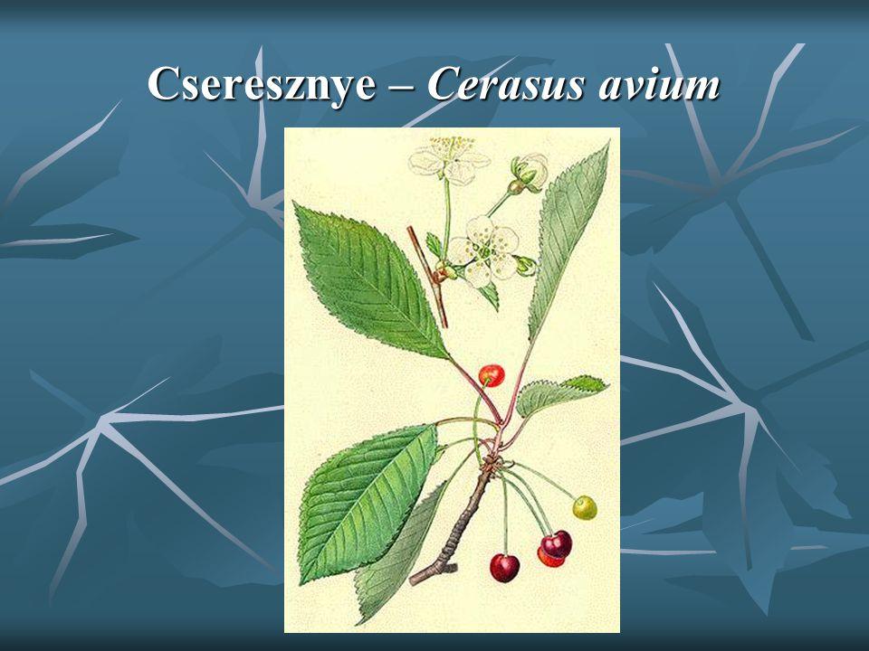 Cseresznye – Cerasus avium