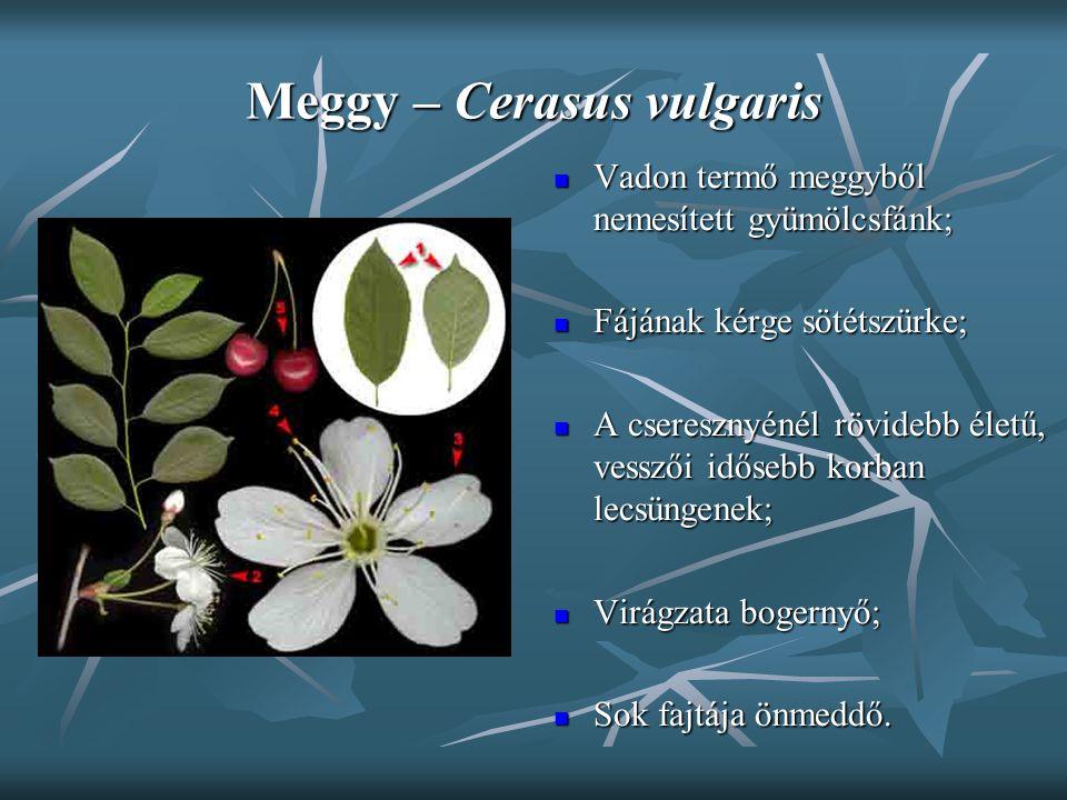 Meggy – Cerasus vulgaris Vadon termő meggyből nemesített gyümölcsfánk; Vadon termő meggyből nemesített gyümölcsfánk; Fájának kérge sötétszürke; Fájána