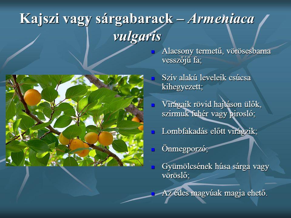 Kajszi vagy sárgabarack – Armeniaca vulgaris Alacsony termetű, vörösesbarna vesszőjű fa; Alacsony termetű, vörösesbarna vesszőjű fa; Szív alakú levele