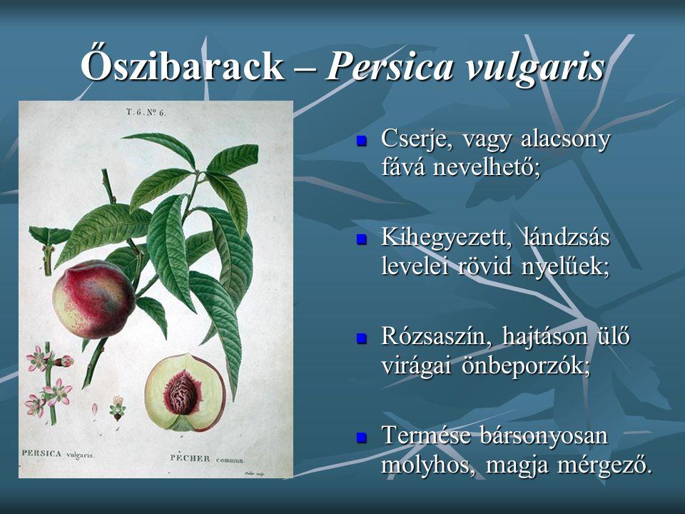 Őszibarack – Persica vulgaris Cserje, vagy alacsony fává nevelhető; Cserje, vagy alacsony fává nevelhető; Kihegyezett, lándzsás levelei rövid nyelűek;