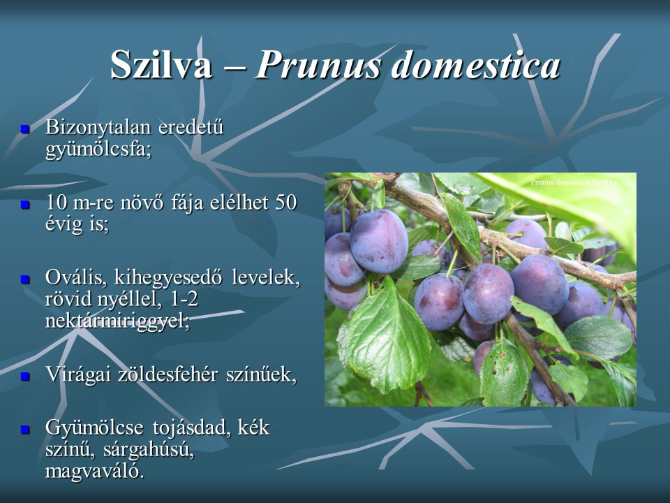Szilva – Prunus domestica Bizonytalan eredetű gyümölcsfa; Bizonytalan eredetű gyümölcsfa; 10 m-re növő fája elélhet 50 évig is; 10 m-re növő fája elél