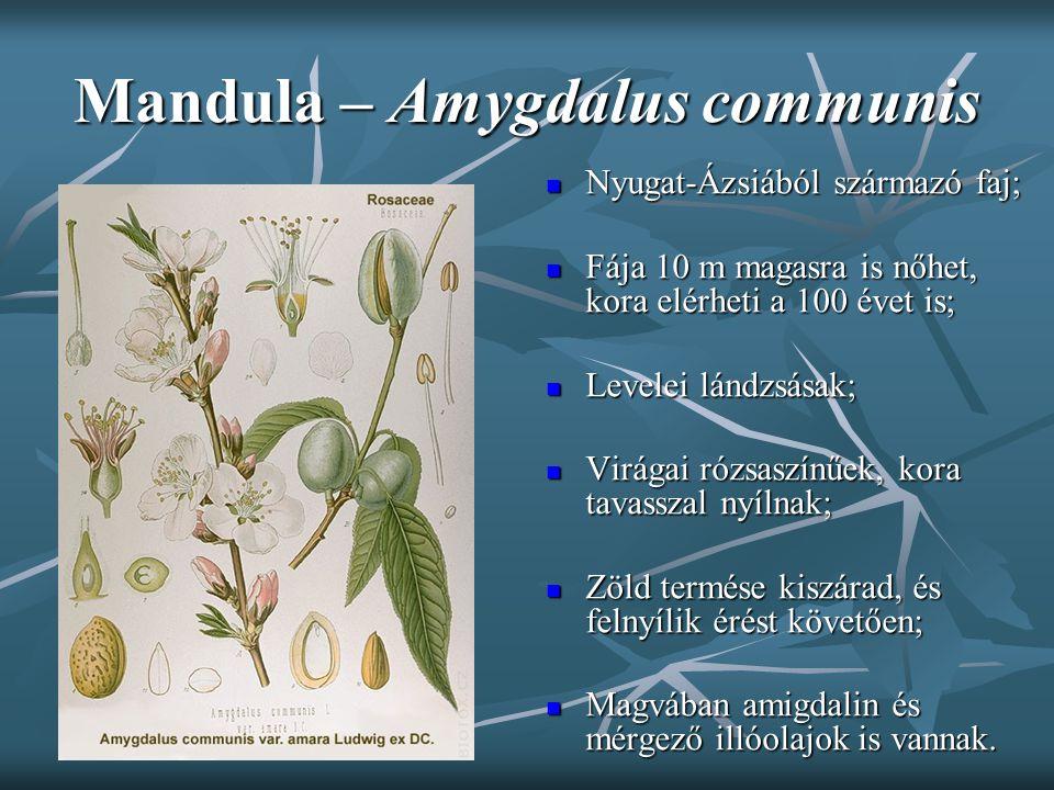 Mandula – Amygdalus communis Nyugat-Ázsiából származó faj; Nyugat-Ázsiából származó faj; Fája 10 m magasra is nőhet, kora elérheti a 100 évet is; Fája
