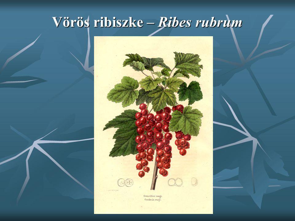 Szilva – Prunus domestica Bizonytalan eredetű gyümölcsfa; Bizonytalan eredetű gyümölcsfa; 10 m-re növő fája elélhet 50 évig is; 10 m-re növő fája elélhet 50 évig is; Ovális, kihegyesedő levelek, rövid nyéllel, 1-2 nektármiriggyel; Ovális, kihegyesedő levelek, rövid nyéllel, 1-2 nektármiriggyel; Virágai zöldesfehér színűek, Virágai zöldesfehér színűek, Gyümölcse tojásdad, kék színű, sárgahúsú, magvaváló.