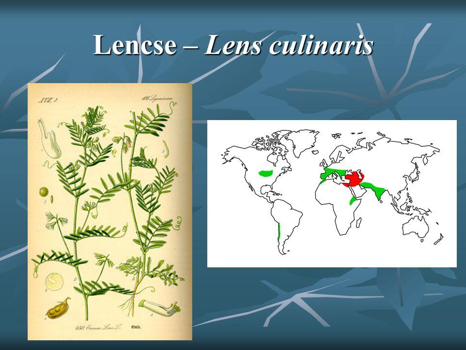 Lencse – Lens culinaris