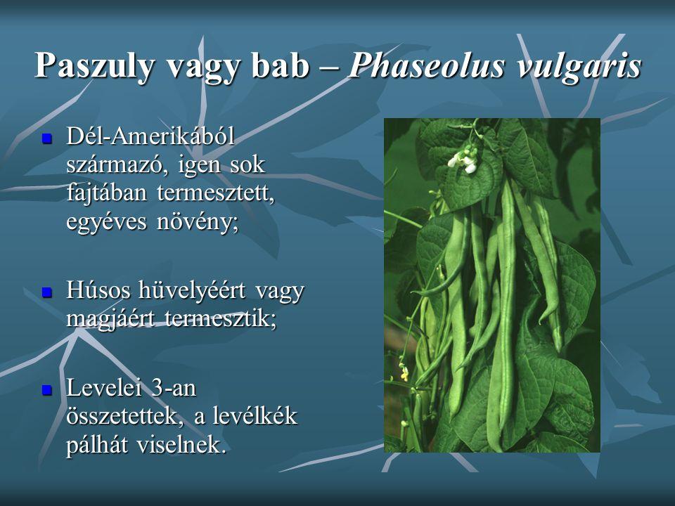 Paszuly vagy bab – Phaseolus vulgaris Dél-Amerikából származó, igen sok fajtában termesztett, egyéves növény; Dél-Amerikából származó, igen sok fajtáb