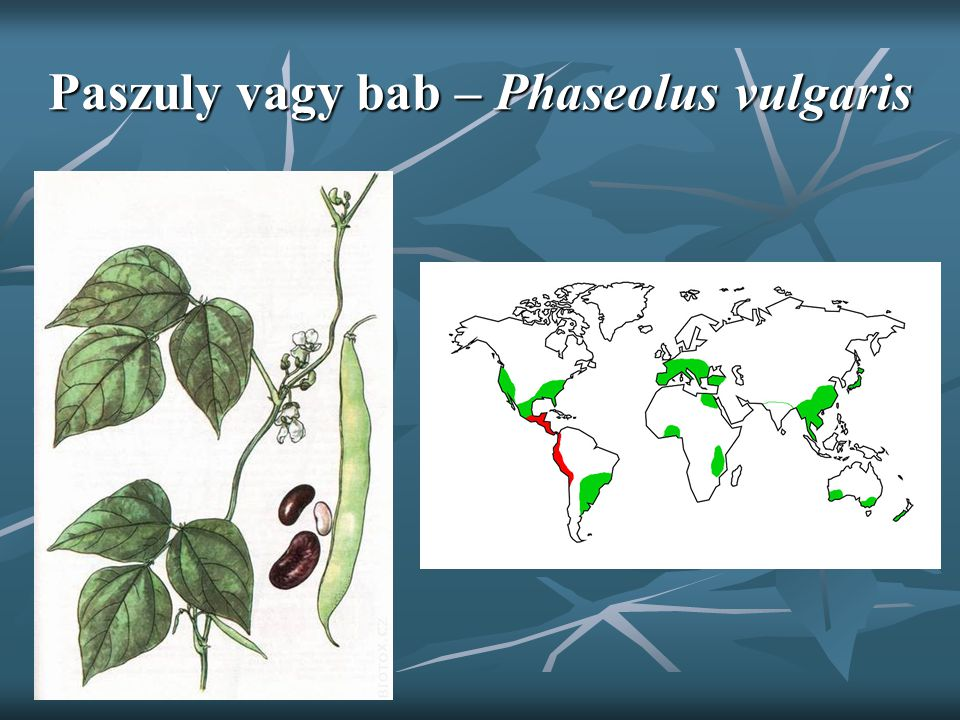 Paszuly vagy bab – Phaseolus vulgaris