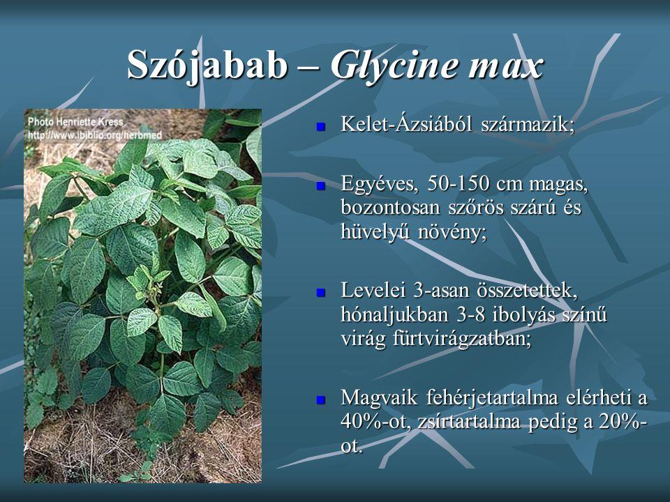Szójabab – Glycine max Kelet-Ázsiából származik; Kelet-Ázsiából származik; Egyéves, 50-150 cm magas, bozontosan szőrös szárú és hüvelyű növény; Egyéve