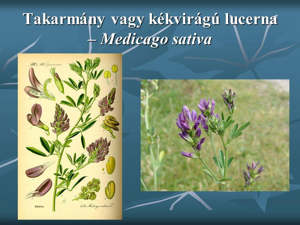Takarmány vagy kékvirágú lucerna – Medicago sativa