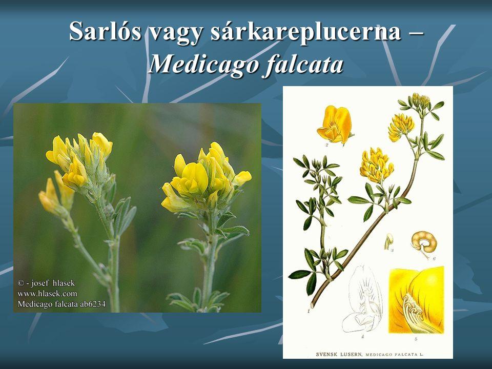 Sarlós vagy sárkareplucerna – Medicago falcata
