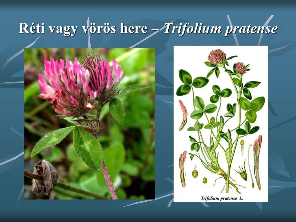 Réti vagy vörös here – Trifolium pratense