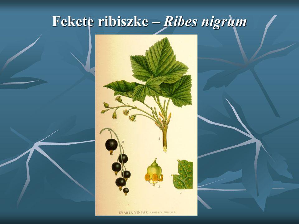 Fekete ribiszke – Ribes nigrum