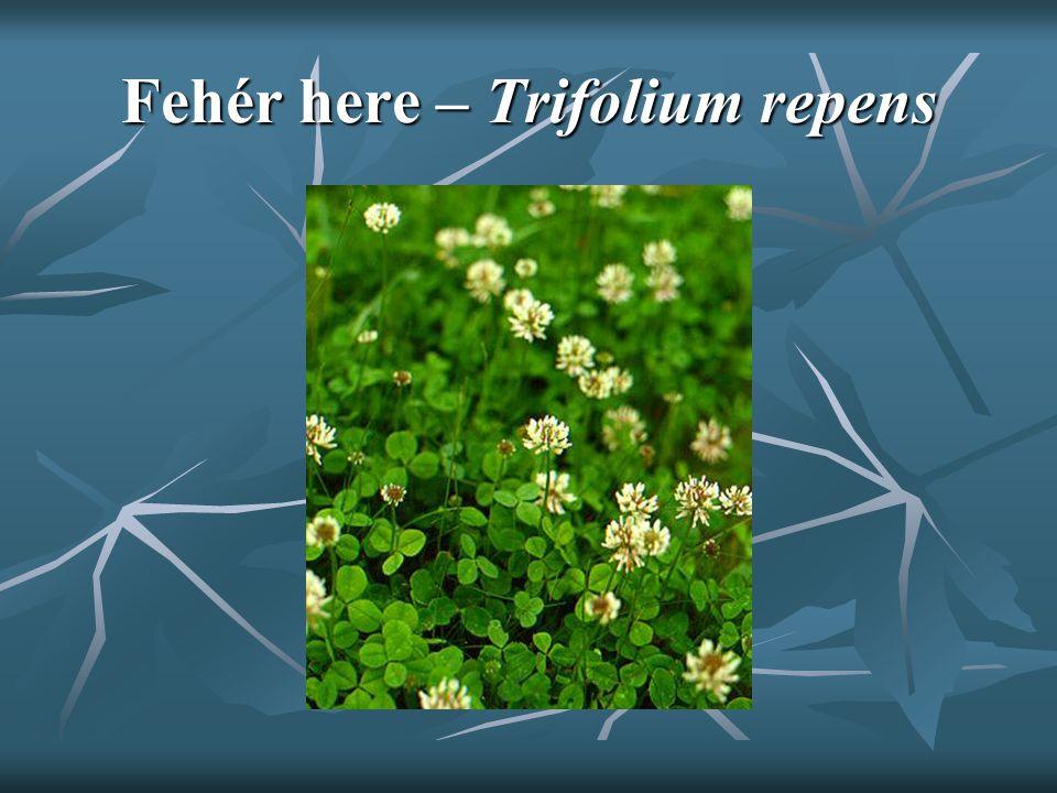 Fehér here – Trifolium repens