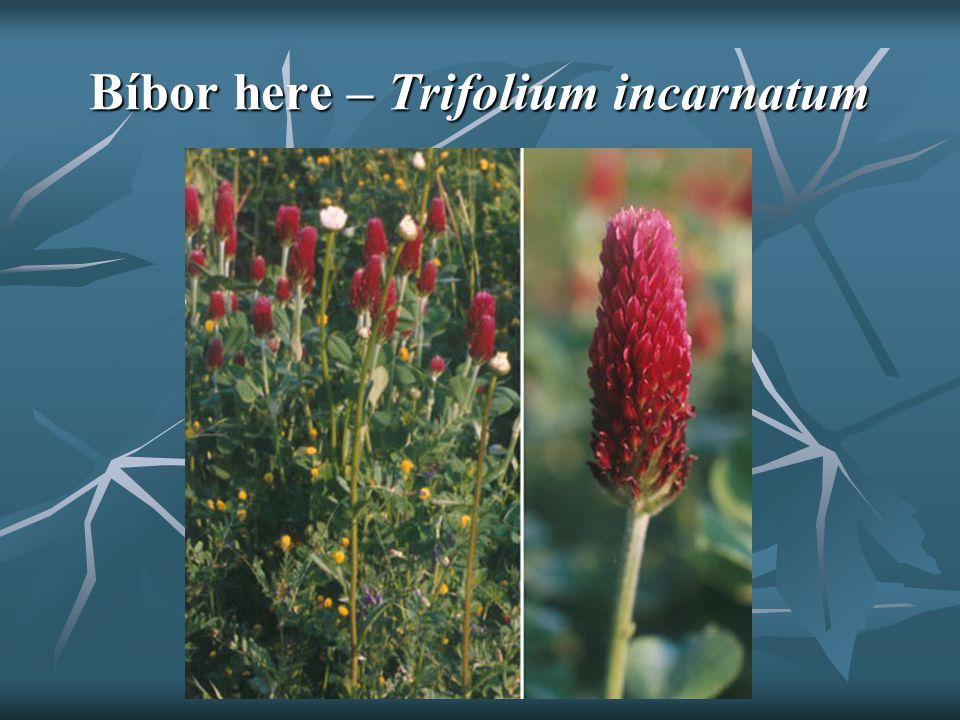 Bíbor here – Trifolium incarnatum