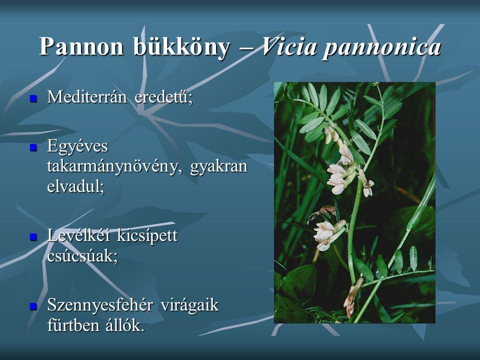 Pannon bükköny – Vicia pannonica Mediterrán eredetű; Mediterrán eredetű; Egyéves takarmánynövény, gyakran elvadul; Egyéves takarmánynövény, gyakran el
