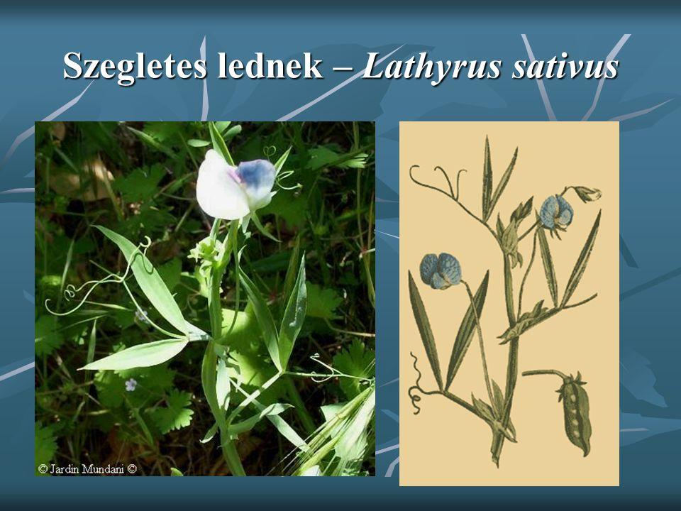 Szegletes lednek – Lathyrus sativus