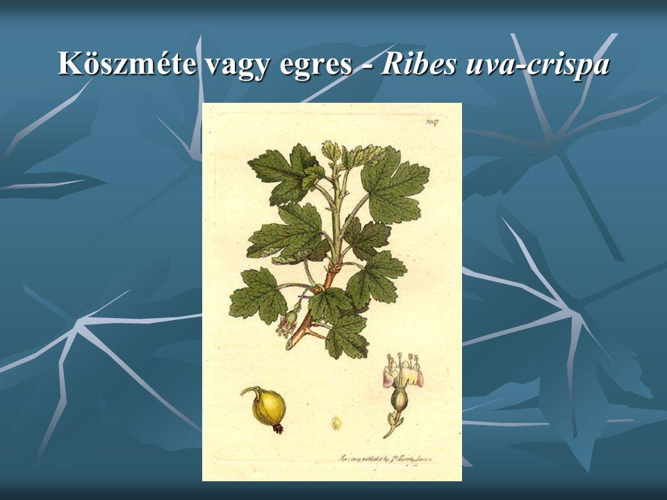 Köszméte vagy egres - Ribes uva-crispa