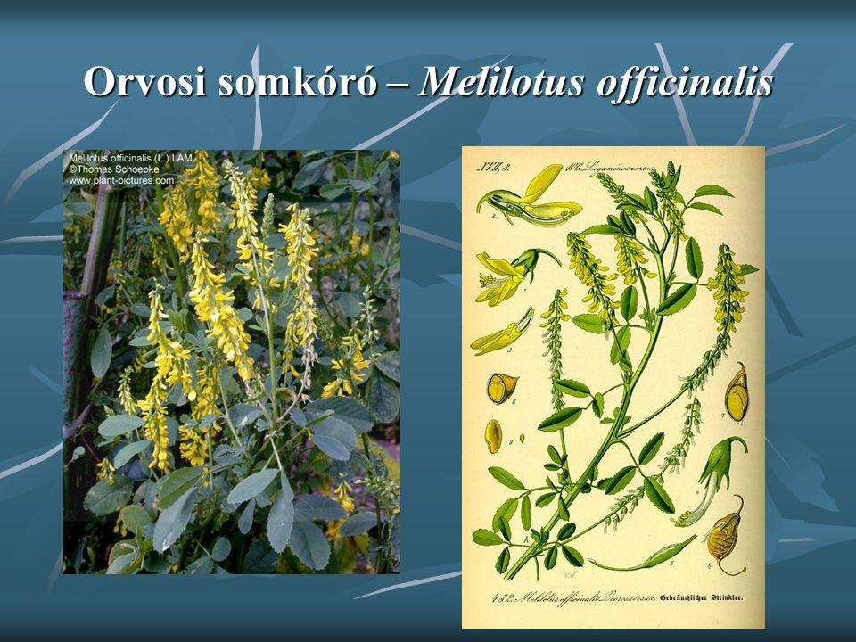 Orvosi somkóró – Melilotus officinalis
