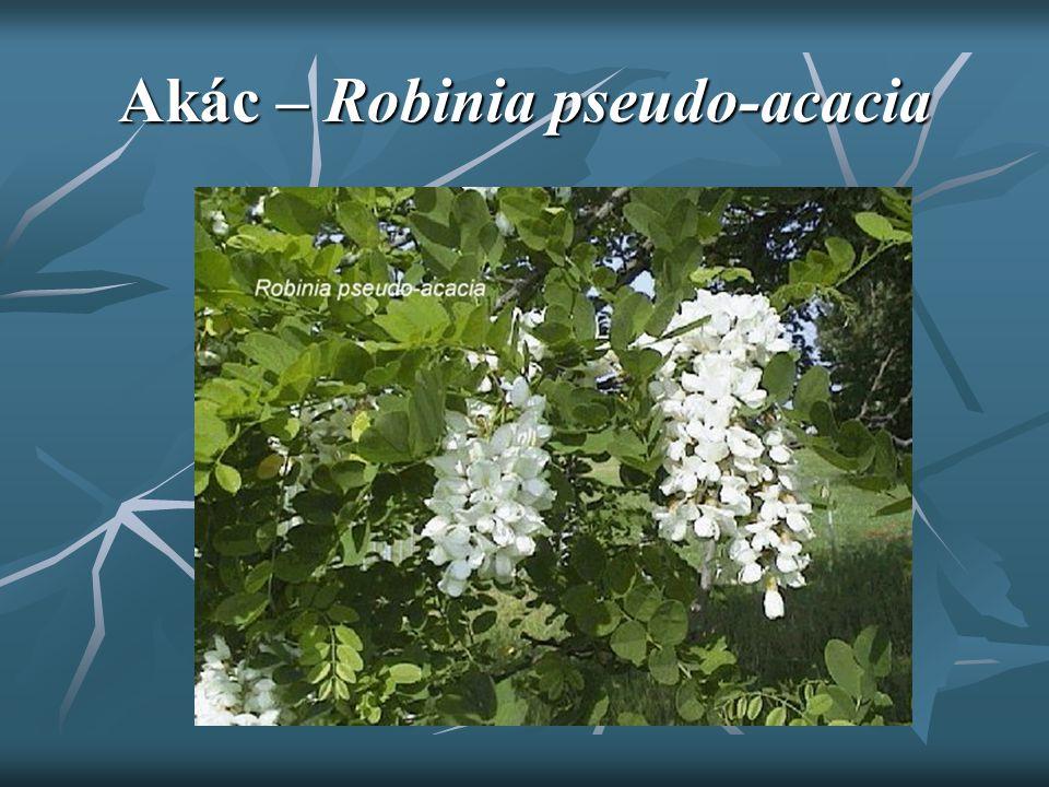 Akác – Robinia pseudo-acacia