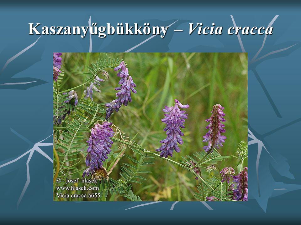 Kaszanyűgbükköny – Vicia cracca