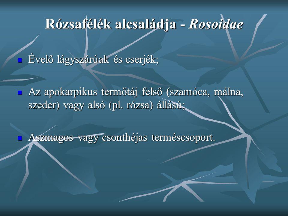 Rózsafélék alcsaládja - Rosoidae Évelő lágyszárúak és cserjék; Évelő lágyszárúak és cserjék; Az apokarpikus termőtáj felső (szamóca, málna, szeder) va