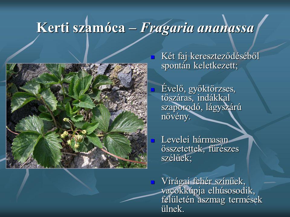 Kerti szamóca – Fragaria ananassa Két faj kereszteződéséből spontán keletkezett; Két faj kereszteződéséből spontán keletkezett; Évelő, gyöktörzses, tő