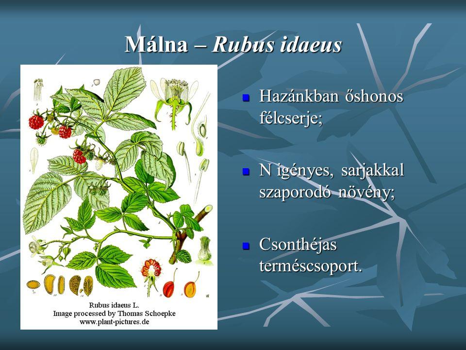 Málna – Rubus idaeus Hazánkban őshonos félcserje; Hazánkban őshonos félcserje; N igényes, sarjakkal szaporodó növény; N igényes, sarjakkal szaporodó n