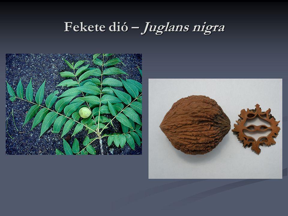 Fekete dió – Juglans nigra