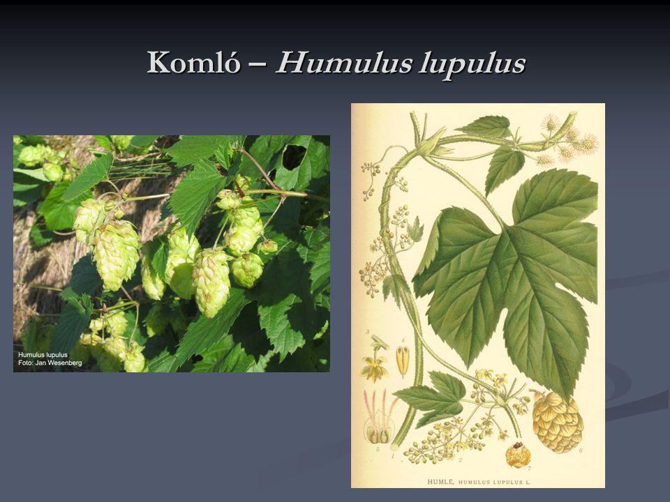 Komló – Humulus lupulus