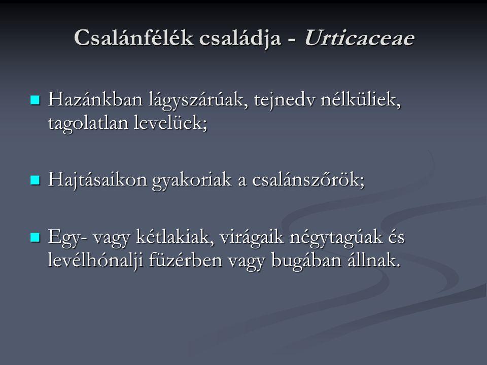 Csalánfélék családja - Urticaceae Hazánkban lágyszárúak, tejnedv nélküliek, tagolatlan levelüek; Hazánkban lágyszárúak, tejnedv nélküliek, tagolatlan