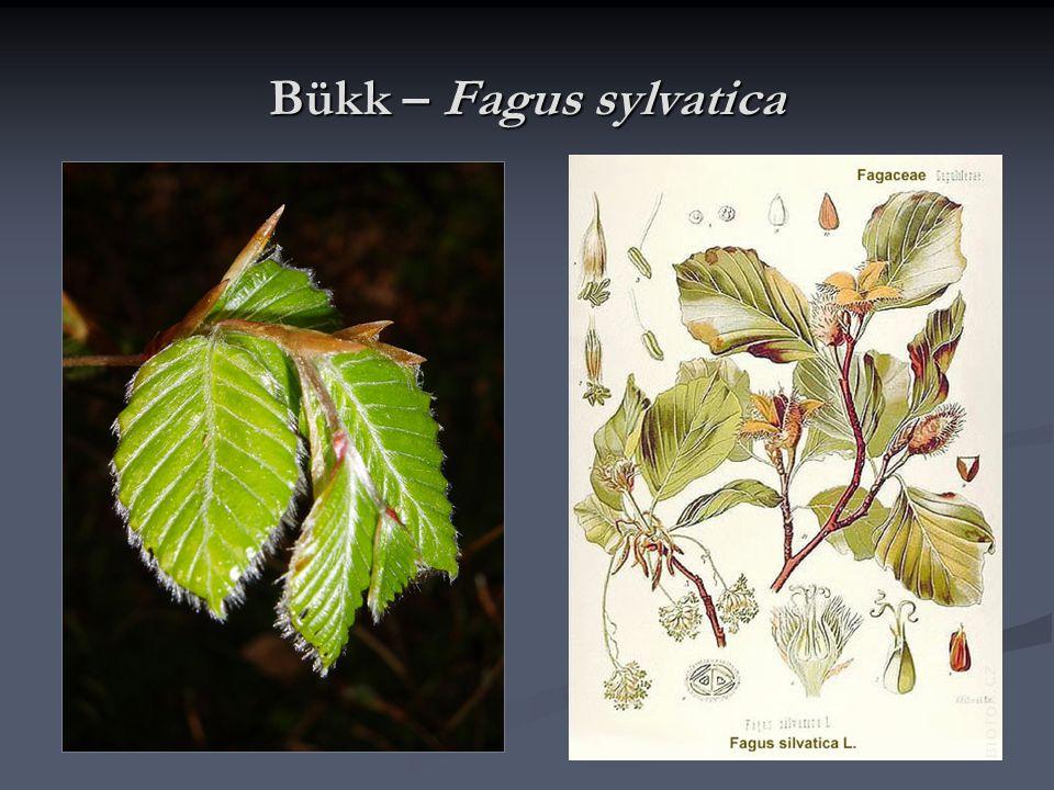 Kenderfélék családja - Cannabaceae Az északi mérséklet öv lágyszárú, kétlaki növényei; Az északi mérséklet öv lágyszárú, kétlaki növényei; A virágtakaró jelentéktelen, öttagú forrt lepel; A virágtakaró jelentéktelen, öttagú forrt lepel; A termős virágokban két fonalszerű bibe; A termős virágokban két fonalszerű bibe; A virágok szélbeporzásúak, termésük a makk vagy makkocska.
