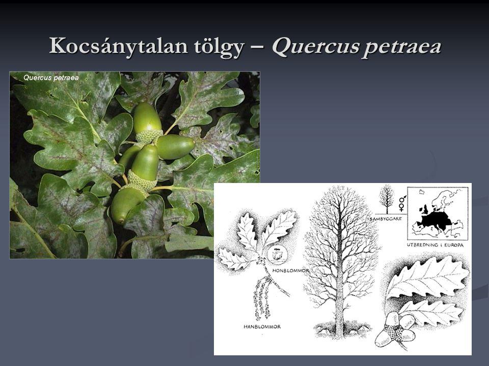 Kocsánytalan tölgy – Quercus petraea