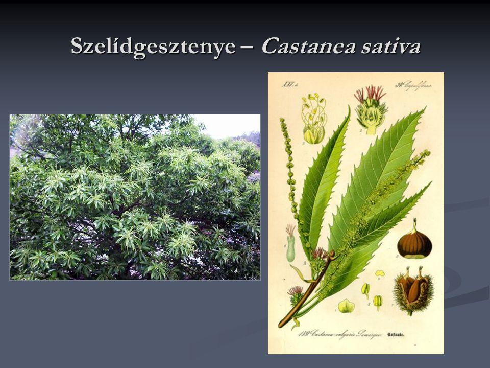 Csalánfélék családja - Urticaceae Hazánkban lágyszárúak, tejnedv nélküliek, tagolatlan levelüek; Hazánkban lágyszárúak, tejnedv nélküliek, tagolatlan levelüek; Hajtásaikon gyakoriak a csalánszőrök; Hajtásaikon gyakoriak a csalánszőrök; Egy- vagy kétlakiak, virágaik négytagúak és levélhónalji füzérben vagy bugában állnak.