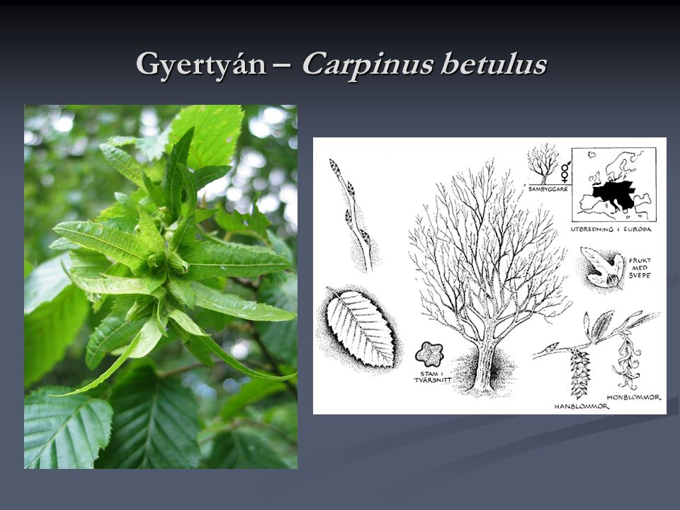Gyertyán – Carpinus betulus