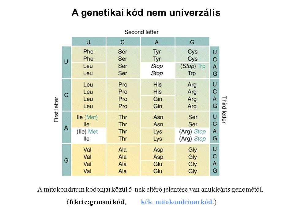A genetikai kód nem univerzális A mitokondrium kódonjai közül 5-nek eltérő jelentése van anukleáris genométól. (fekete:genomi kód, kék: mitokondrium k