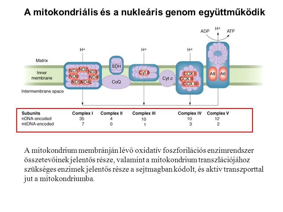 A mitokondriális és a nukleáris genom együttműködik A mitokondrium membránján lévő oxidatív foszforilációs enzimrendszer összetevőinek jelentős része,