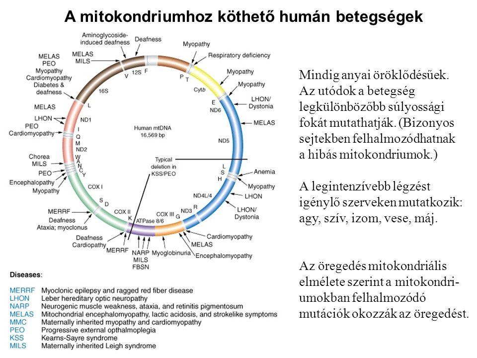 A mitokondriumhoz köthető humán betegségek Mindig anyai öröklődésűek. Az utódok a betegség legkülönbözőbb súlyossági fokát mutathatják. (Bizonyos sejt