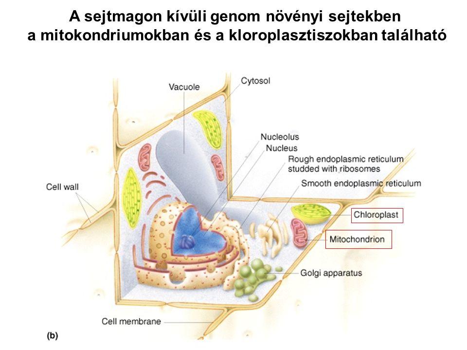 A sejtmagon kívüli genom növényi sejtekben a mitokondriumokban és a kloroplasztiszokban található