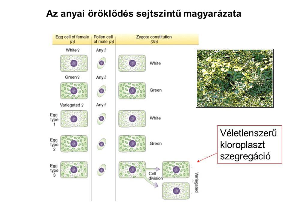 Az anyai öröklődés sejtszintű magyarázata Véletlenszerű kloroplaszt szegregáció