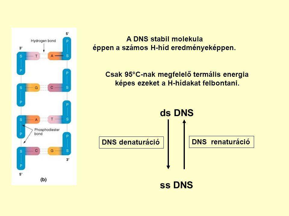 Csak 95°C-nak megfelelő termális energia képes ezeket a H-hídakat felbontani. A DNS stabil molekula éppen a számos H-híd eredményeképpen. DNS denaturá