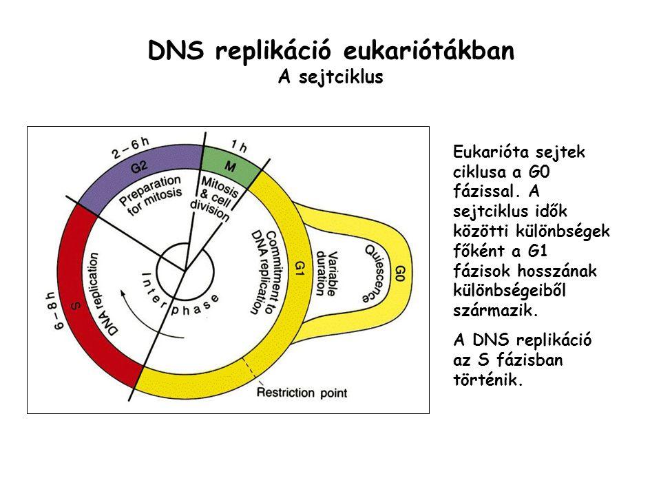 DNS replikáció eukariótákban A sejtciklus Eukarióta sejtek ciklusa a G0 fázissal. A sejtciklus idők közötti különbségek főként a G1 fázisok hosszának