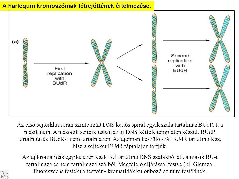 A DNS replikációja Harlekin kromoszómák A harlequin kromoszómák létrejöttének értelmezése. Az első sejtciklus során szintetizált DNS kettős spirál egy