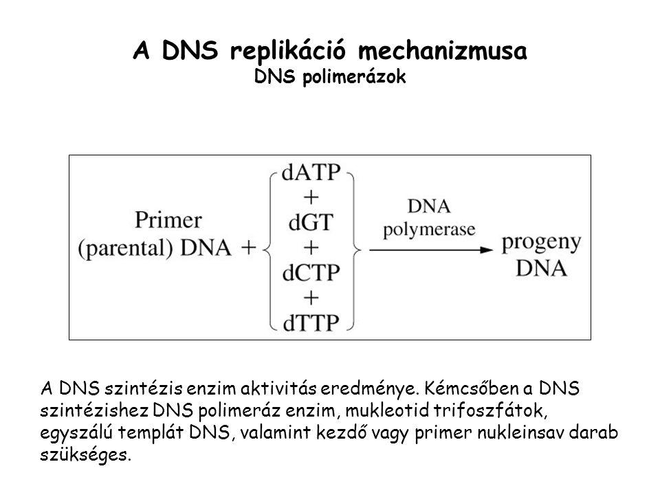 A DNS replikáció mechanizmusa DNS polimerázok A DNS szintézis enzim aktivitás eredménye. Kémcsőben a DNS szintézishez DNS polimeráz enzim, mukleotid t