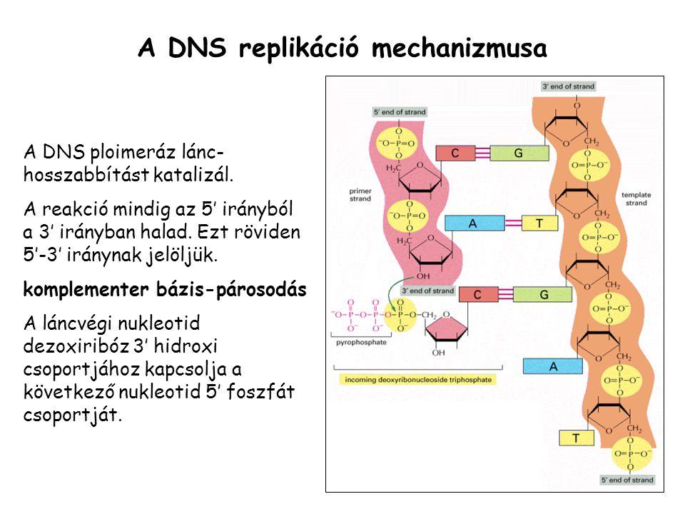 A DNS replikáció mechanizmusa A DNS ploimeráz lánc- hosszabbítást katalizál. A reakció mindig az 5' irányból a 3' irányban halad. Ezt röviden 5'-3' ir