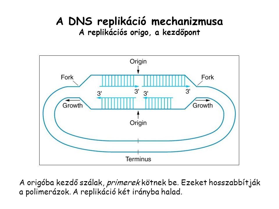A DNS replikáció mechanizmusa A replikációs origo, a kezdőpont A origóba kezdő szálak, primerek kötnek be. Ezeket hosszabbítják a polimerázok. A repli