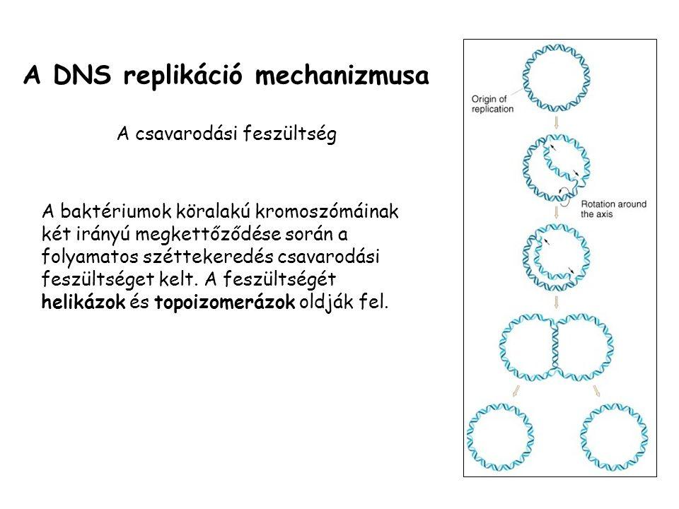 A DNS replikáció mechanizmusa A csavarodási feszültség A baktériumok köralakú kromoszómáinak két irányú megkettőződése során a folyamatos széttekeredés csavarodási feszültséget kelt.