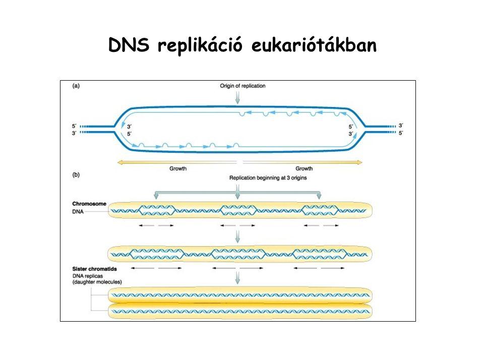 DNS replikáció eukariótákban