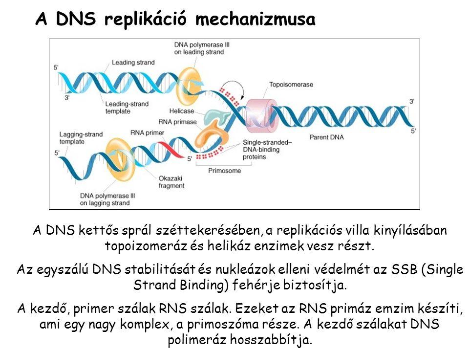 A DNS replikáció mechanizmusa A DNS kettős sprál széttekerésében, a replikációs villa kinyílásában topoizomeráz és helikáz enzimek vesz részt. Az egys